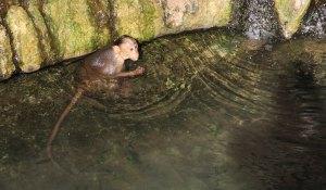 MOnkey in the water