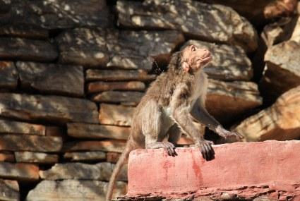 Monkey drying himself