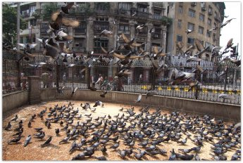 Mumbai : Pigeons being fed