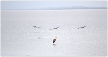 birds at Pulicat lake