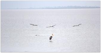 birds at Pulicat lake