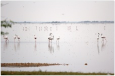 Flamingoes at Pulicat lake