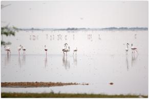 Flamingoes at Pulicat lake
